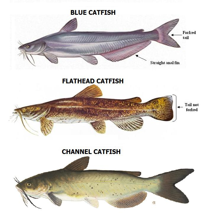 catfish species
